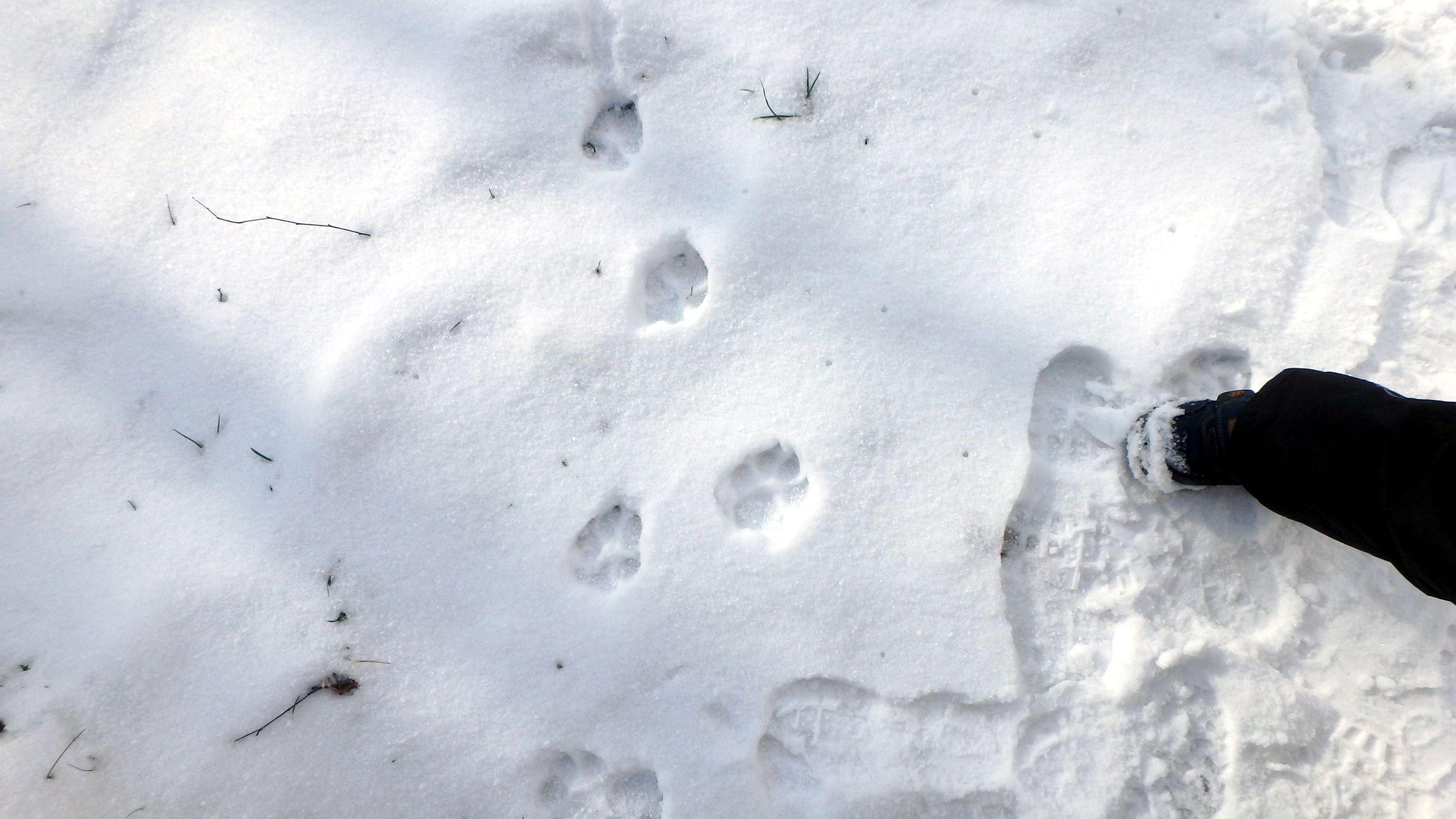 ślady zwierząt na śniegu